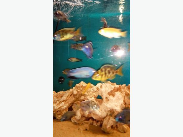 Malawi fish and fish tank.