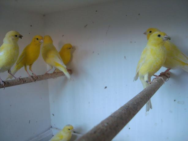 budgies and canarys for sale
