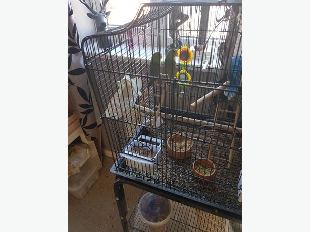 Last 2 Parrotlets