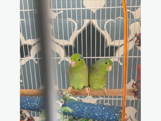Breeding pair of Pacific parrotlets