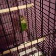 conure baby parrot 4 months old