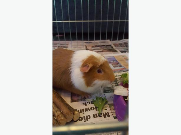 Male 12 month old gunieapig
