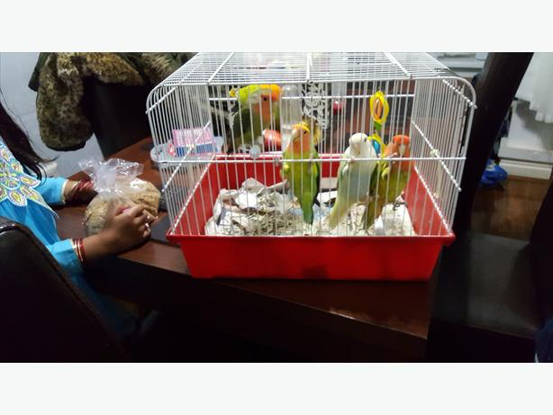 Beautiful baby Love Birds for sale
