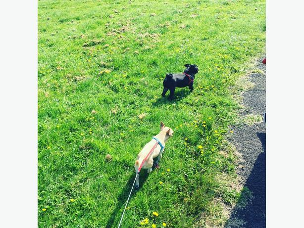 pug and chihuahua for sale