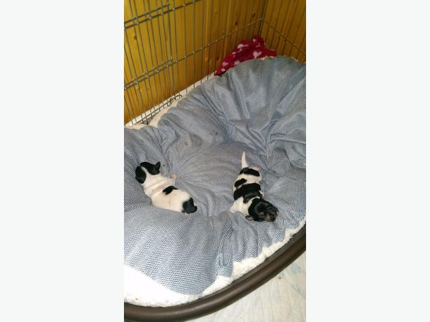 2 x male jack russell puppies for sale