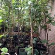 boxwood and fruit trees