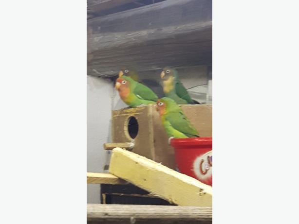 to breeding pairs of love birds