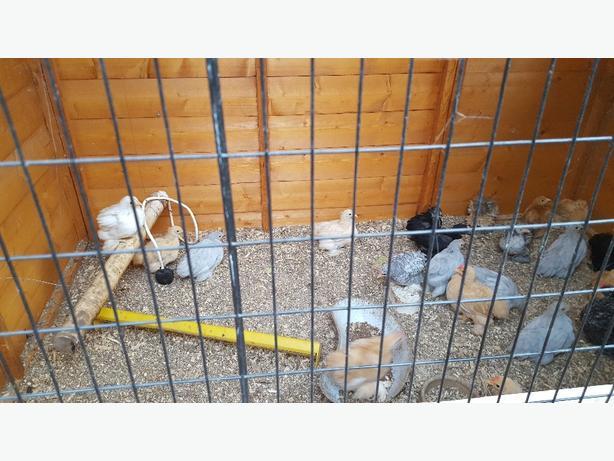 pekins chickens