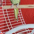 Male Indian ringneck