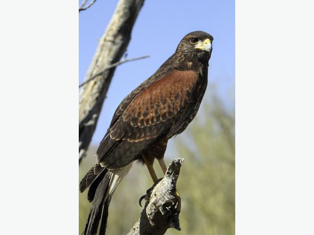 WANTED: Male Harris Hawk