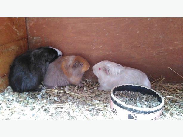 Beautiful Male Guinea Pigs.