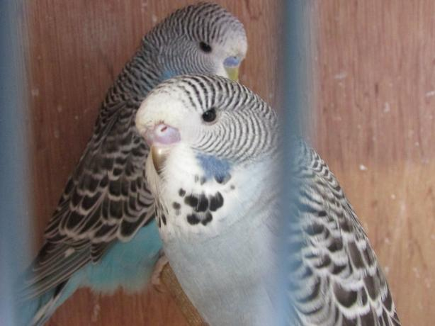 Baby show budgies