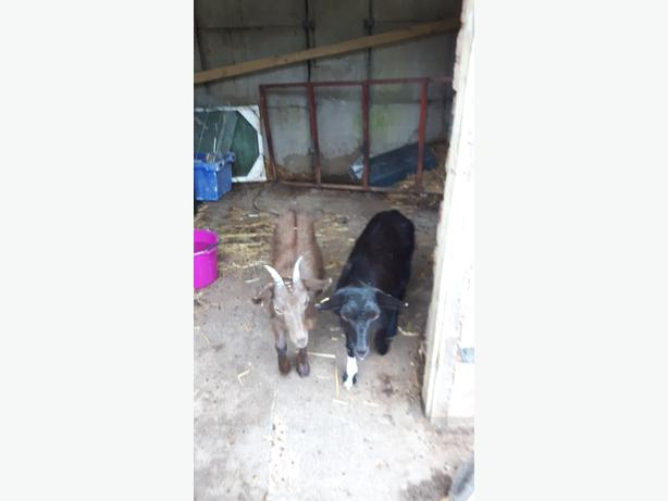 to sister's nanny goats ready to breed