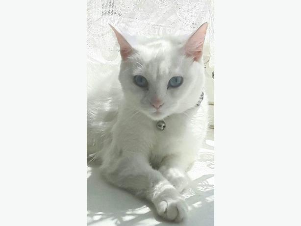 pure white blue eyed female cat.
