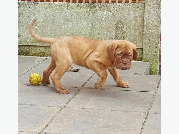 beautiful dogue de bordeaux puppies