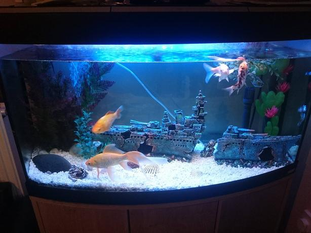 3ft fluval bow front fish tank pleco brierley hill for Bow front fish tank