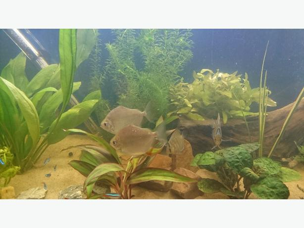 Large silver dollar wolverhampton dudley mobile for Silver dollar fish for sale