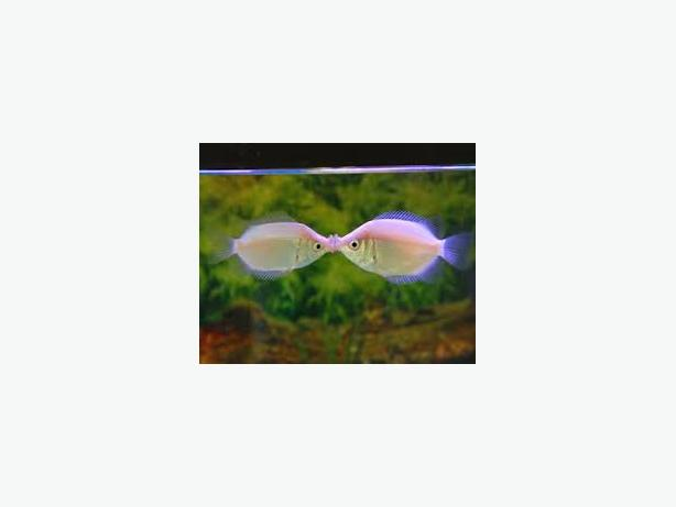 Pink kissing gourami 5 a pair wednesfield dudley for Pink kissing fish
