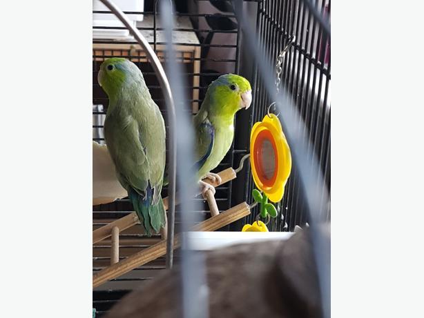 Male Parrotlets