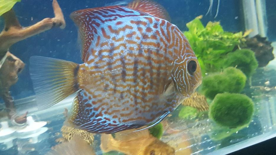Discus fish for sale walsall wolverhampton for Discus fish for sale cheap