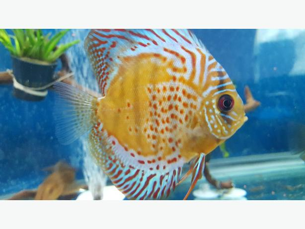 Discus fish for sale walsall dudley for Discus fish for sale cheap