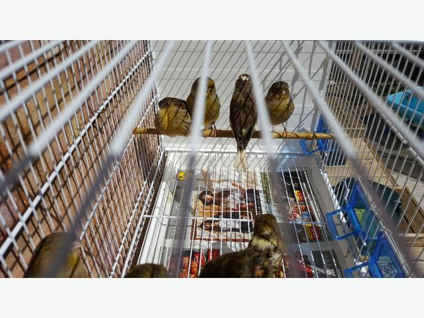 Gloster canaries for sale