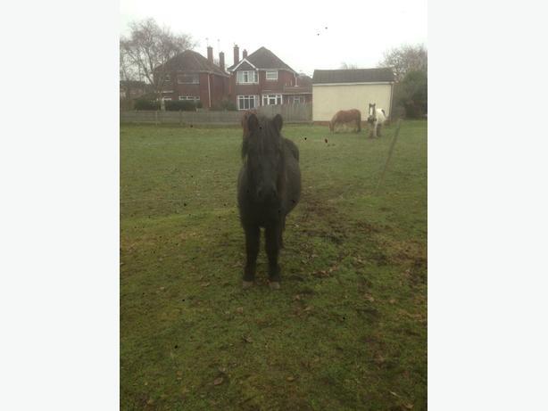 black pony mare