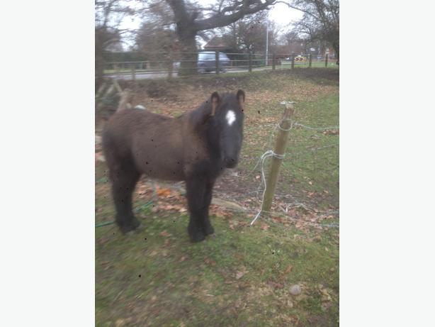 cob cross pony colt foal