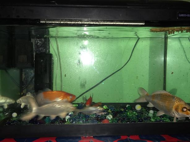 Big fish tank with 6 koi fishes includes all equipments for Koi fish tank for sale