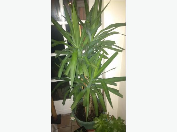 Big yucka plant