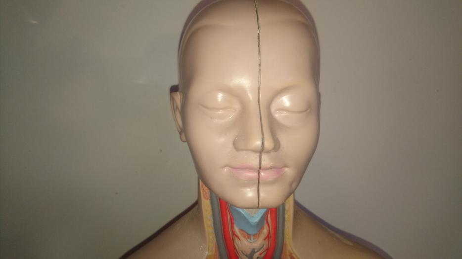 Vintage School College Anatomy Model Sculpture Removable
