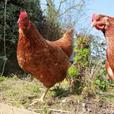Chickens Norfolk
