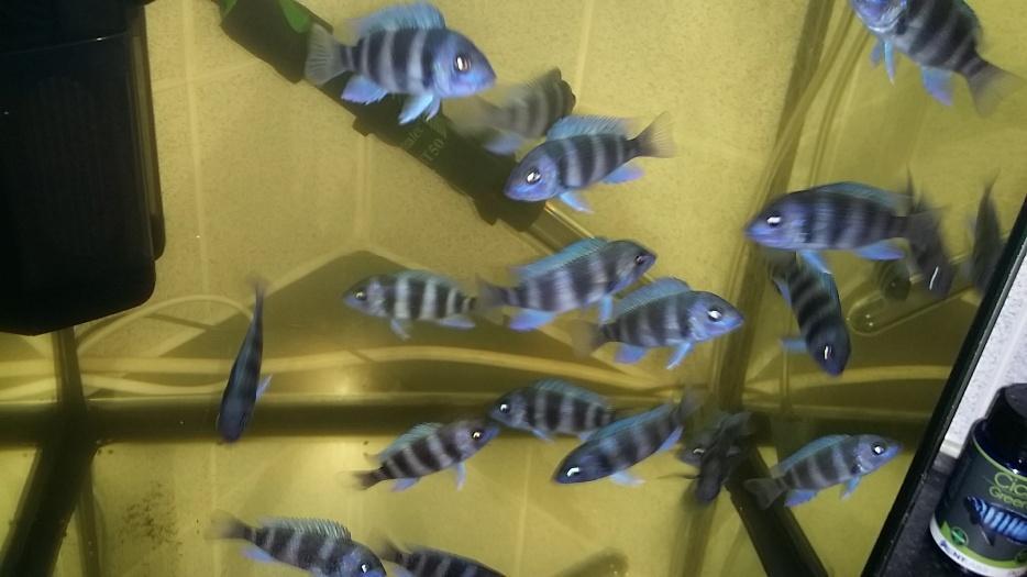 Frontosa mpimbwe x 4 brierley hill dudley for Tap tap fish corgi
