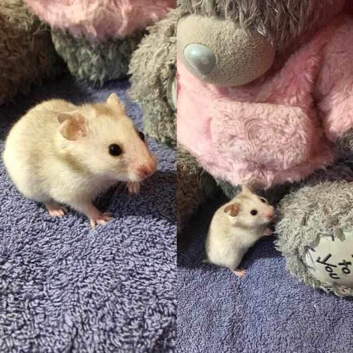 Sofa For Sale In Wolverhampton: Syrian Hamsters DUDLEY, Wolverhampton