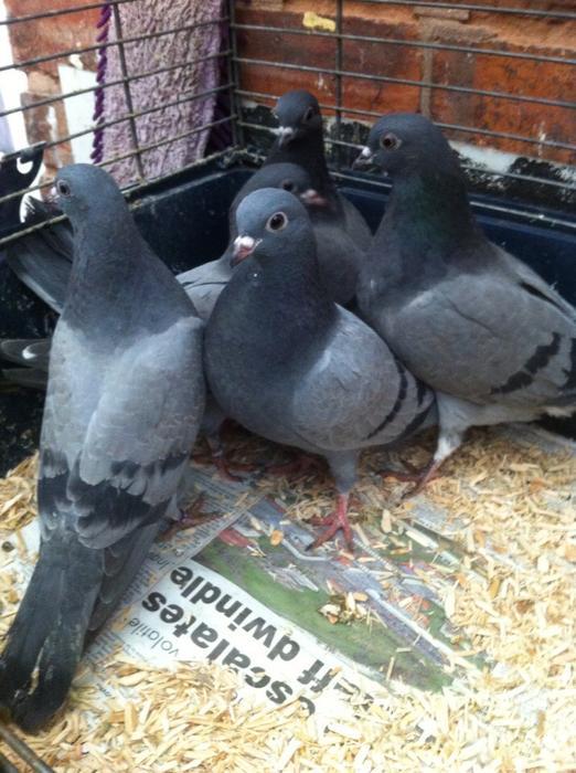 Tipplers pigeons WALSALL Dudley : 106360641934 from www.useddudley.co.uk size 522 x 700 jpeg 66kB