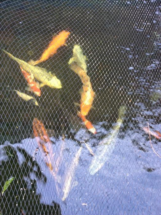 Large koi carp for sale west bromwich wolverhampton for Large koi carp