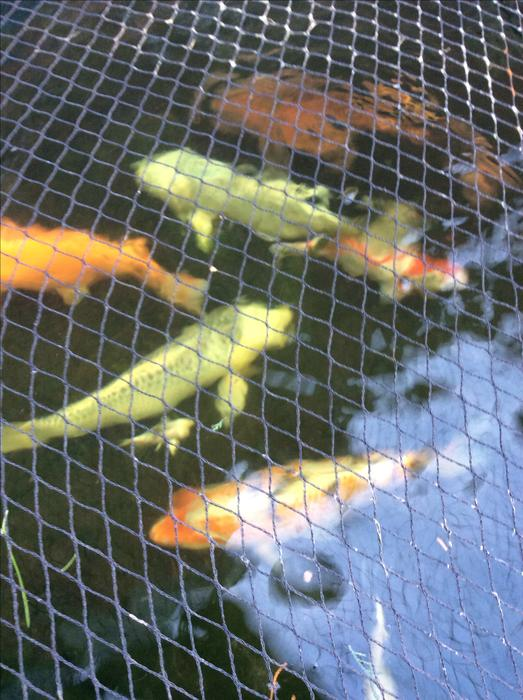 Large koi carp for sale west bromwich wolverhampton for Jumbo koi for sale uk