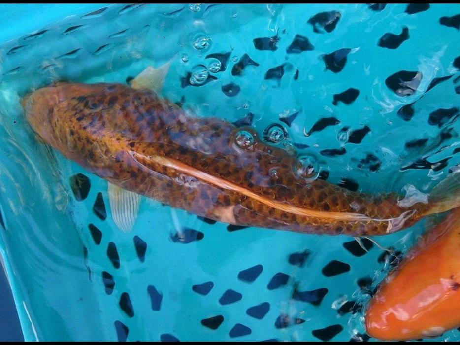 Koi for sale west bromwich sandwell for Koi for sale uk