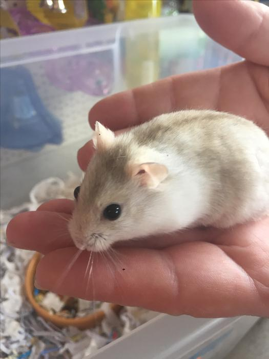 Dwarf Hamsters Brierley Hill Dudley