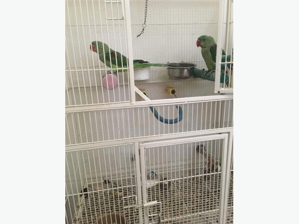 Alexenderin parrot