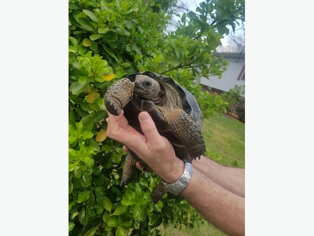 Hatchling Aldabra Tortoise for sale