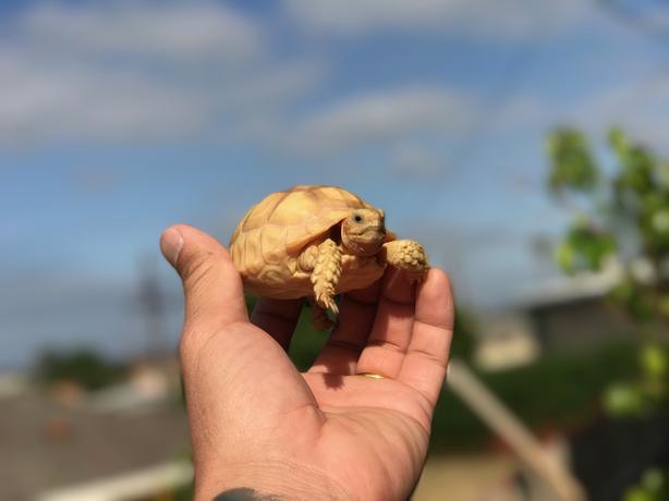 Albino sulcata tortoise for sale