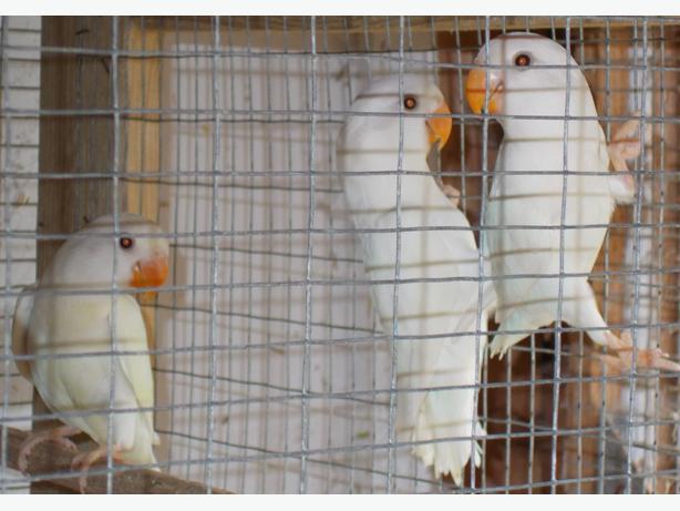 BABY PEACHFACED LOVEBIRDS