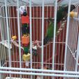 3 conures with cage