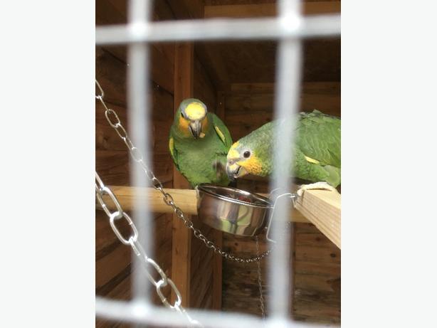 pair amazon parrots