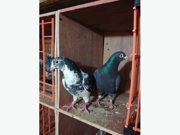 racing pigeons Outside Black Country Region, Wolverhampton