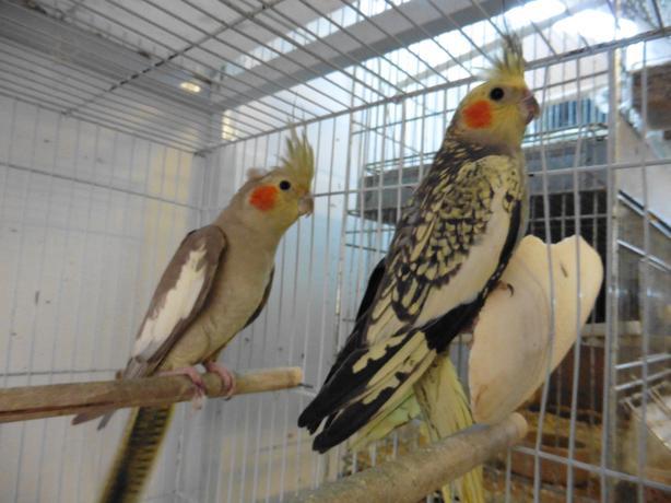 2 x 2017 hen Cockatiels for sale