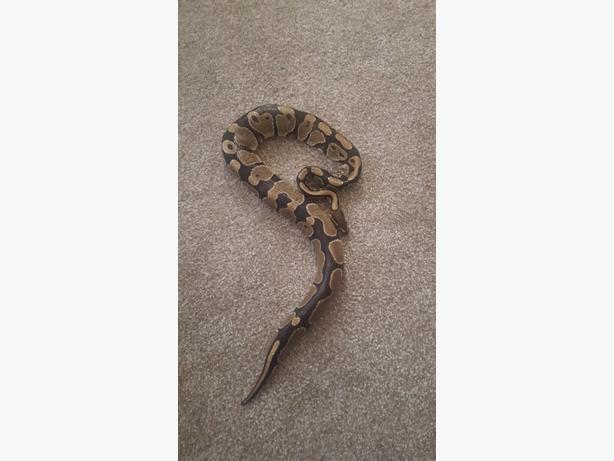 royal python snake