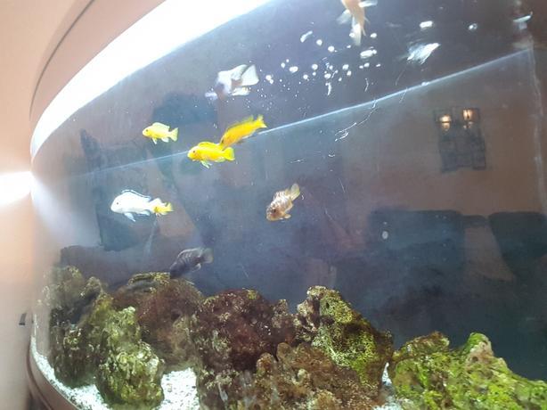 11 malawi cichlid fish