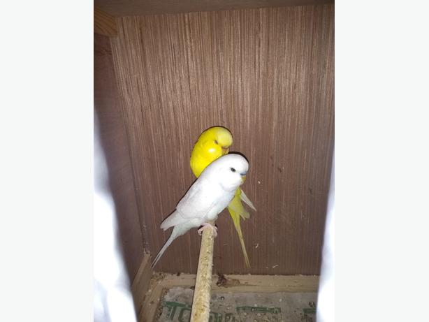 lutino/white budgie breeding pair